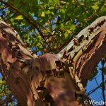 Arbutus x andrachnoides - Wiecher Huisman