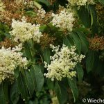 Ehrethia acuminata Kew - Wiecher Huisman