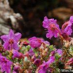 Rhododendron calostrotum spp keleticum Inverness - Wiecher Huisman