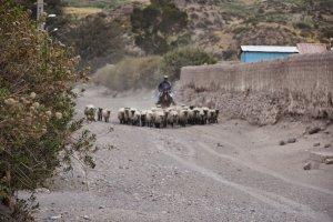 Ook de schaapherder komt thuis - Wiecher Huisman