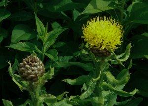 Leucanthemum superbum - Wiecher Huisman