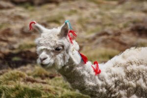 Alpaca kalf - Wiecher Huisman