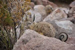 Viscacha - Wiecher Huisman