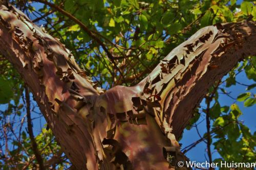 Arbutus x andrachnoides 1