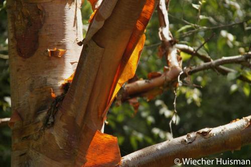 Betula albo-sinensis Wakehurst