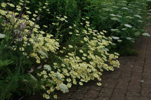 Anthemis tinctoria - Wiecher Huisman