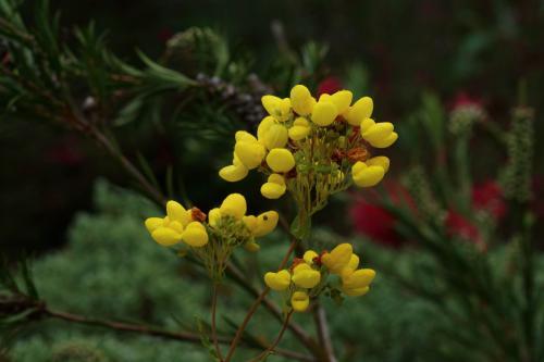 Calceolaria integrifolia - Wiecher Huisman