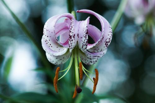 Lilium lankongense - Wiecher Huisman
