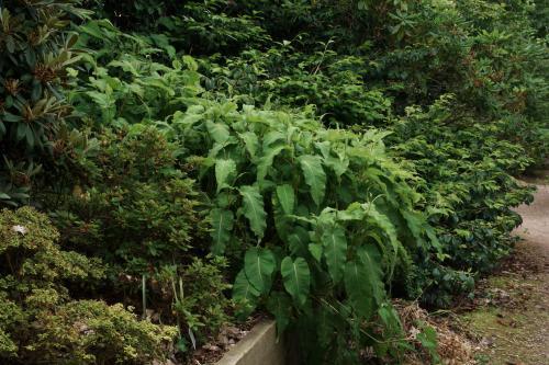 Persicaria amplex - Wiecher Huisman