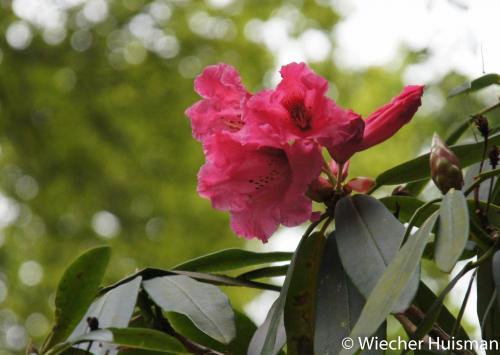 Rhododendron 'Antonio'