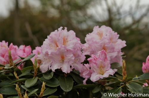 Rhododendron 'Dagmar'