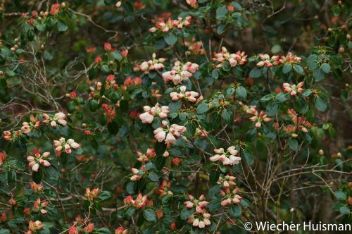 Rhododendron 'Flashlight' 1