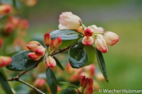 Rhododendron 'Flashlight'