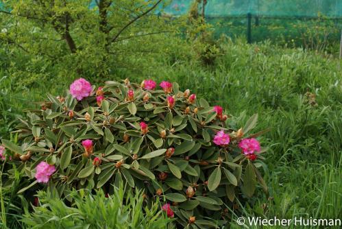 Rhododendron 'Frederike' Gasselte
