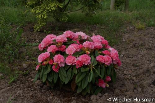 Rhododendron 'Graf Anton Gunther
