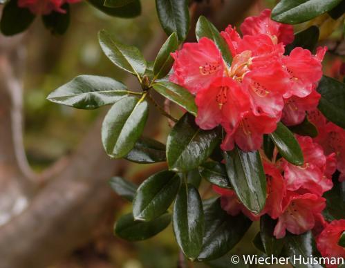 Rhododendron 'Mrs James Horlick' Crarae 1