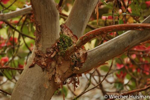 Rhododendron 'Mrs James Horlick' Crarae 2