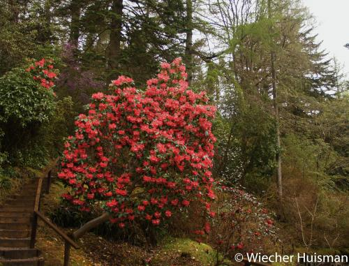 Rhododendron 'Mrs James Hornick' Crarae 3