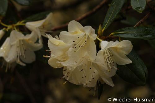 Rhododendron 'Peace' Craraee