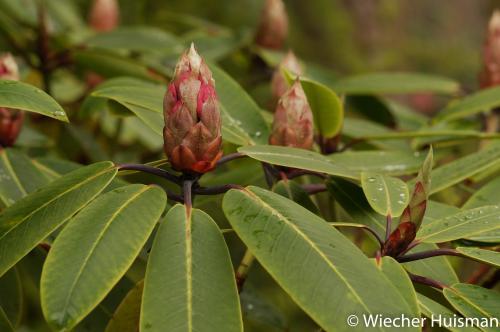 Rhododendron 'Pink Topaz' Inverewe