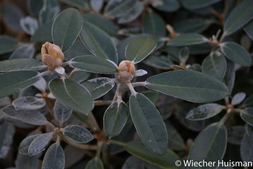 Rhododendron 'Queen Bee'