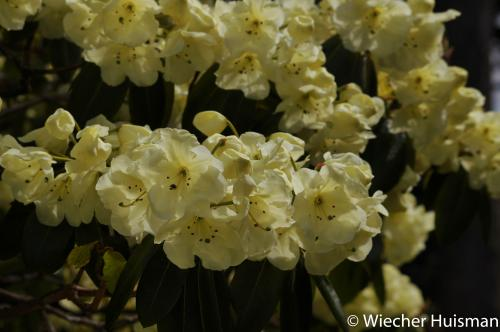 Rhododendron 'Roza Stevenson' Edinburgh 1