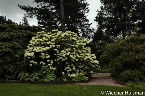 Rhododendron 'Roza Stevenson' Edinburgh