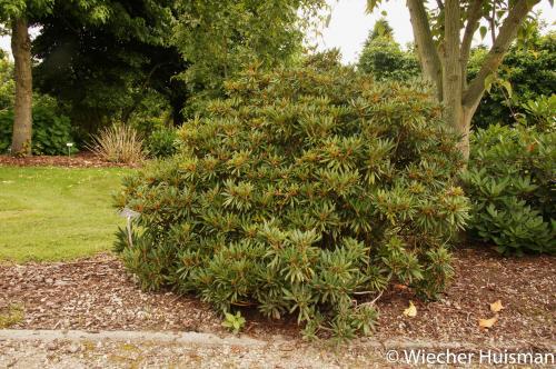 Rhododendron 'Straetly' Eeklo