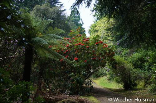 Rhododendron 'Vanguard'