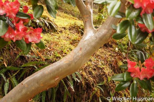 Rhododendron 'mrs James Horlick' Crarae