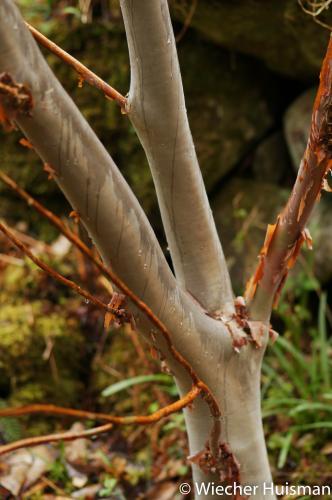 Rhododendron 'shilsonii' Crarae