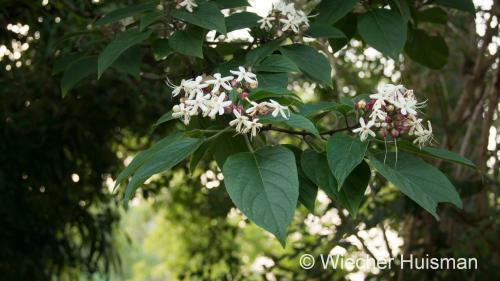 Clerodendrun trichotomum